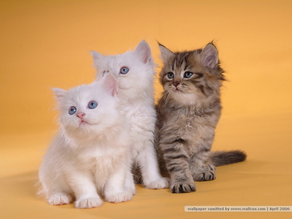 Persian cat wallpapers 35 wall001 com persiancatpicture80608